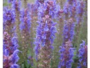 Šalvěj hajní ´Blauhügel´ - Salvia nemorosa 'Blauhügel'