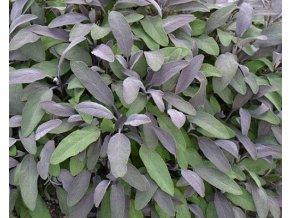 Šalvěj purpurová