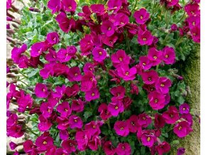 Tařička x cultorum ´Bressingham Red´ - Aubrieta x cultorum 'Bressingham Red'