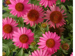 Třapatka ´Amazing Dream´ - Echinacea 'Amazing Dream'