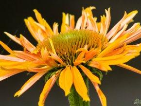 Třapatka ´Big Kahuna´ - Echinacea 'Big Kahuna'