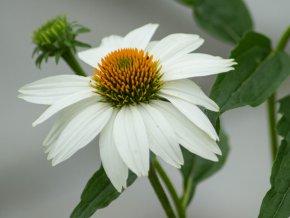 echinacea purpurea alba (2)