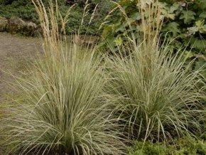 Třtina ostrokvětá  ´Overdam´ - Calamagrostis acutiflora 'Overdam'