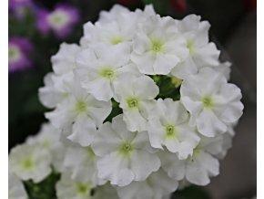 Verbena Pop 'White'