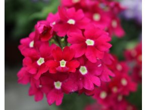 Verbena Blues 'Magenta' 3ks