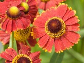 Záplevák autumnale ´Helena Red´ - Helenium autumnale 'Helena Red'