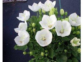 Zvonek karpatský ´Pearl White´ - Campanula carpatica 'Pearl White'