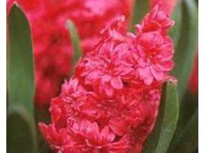 Hyacint ´Red Magic´/kontejner