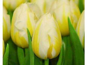 Tulipán ´Flaming Coquette´/kontejner
