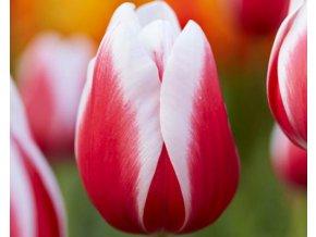 Tulipán ´Guus Papendrecht'/kontejner