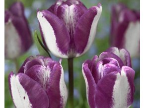 Tulipán ´Hotpants'/kontejner