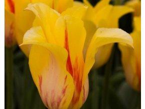 Tulipán ´Hocus Pocus'/kontejner