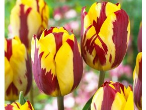 Tulipán ´Helmar´/kontejner