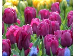 Tulipán ´Negrita´/kontejner