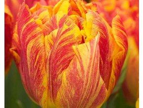 Tulipán ´Monte Flame'/kontejner