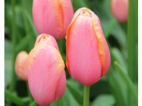 Tulipán ´Menton'/kontejner