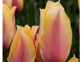 Tulipán ´Long Lady´/kontejner