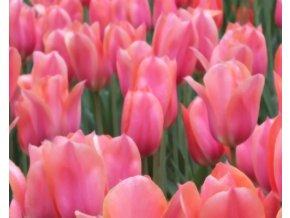 Tulipán ´Perestroyka´/kontejner