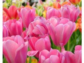 Tulipán ´Pink Surprise´/kontejner