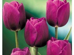 Tulipán ´Purple Prince´/kontejner