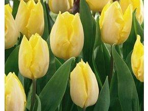 Tulipán ´Sunny Prince´/kontejner