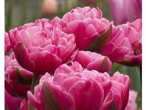 Tulipán ´Up Pink'/kontejner