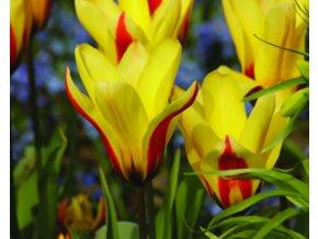 Tulipán ´Hitparade´/kontejner