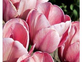 Tulipán ´Mystic van Eijk´/kontejner