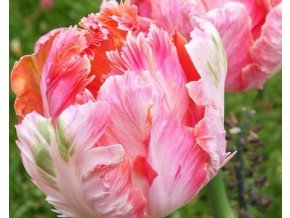 Tulipán ´Libretto Parrot´/kontejner
