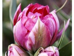 Tulipán ´Flash Point´/kontejner