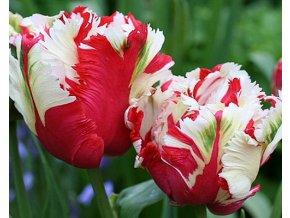 Tulipán ´Estella Rijnveld´/kontejner