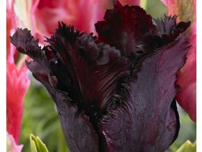 Tulipa ´Black Parrot´/kontejner