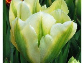 Tulipán ´White Springgreen´/kontejner