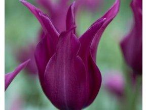 Tulipán ´Burgundy´/kontejner