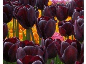 Tulipán ´Cafe Noir´/kontejner