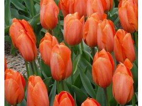 Tulipán ´Darwiorange´/kontejner