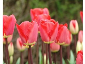 Tulipán ´Fostery King´/kontejner