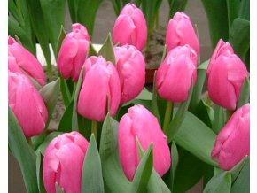 Tulipán ´Jumbo Pink'/kontejner