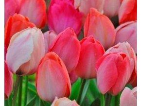 Tulipán ´Lady van Eijk´/kontejner