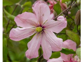 clematis ai nor