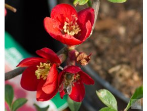 chaenomeles crimson and gold (1)