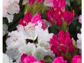 Rhododendron Royal Rosy