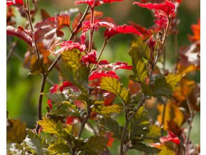 fagus sylvatica red obelisk