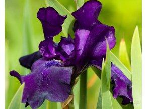 Iris germanica 'Black Dragon'
