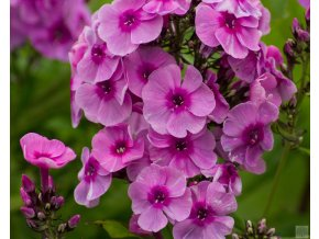 phlox fondant fancy