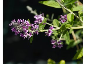 buddleja unique (3)