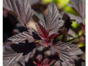 physocarpus red compact