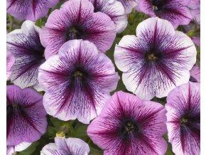 purple vein