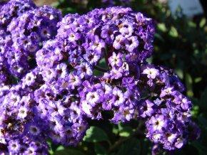 Vanilkový keřík/Heliotrophium arborescens