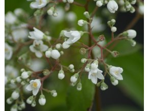 deutzia magical silver star